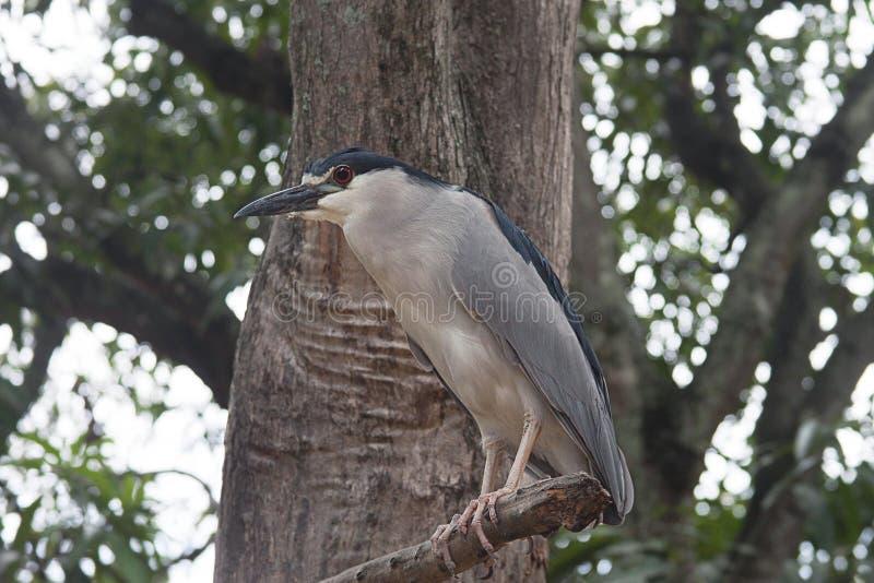 Czerń koronowany czapli ptak zdjęcie royalty free