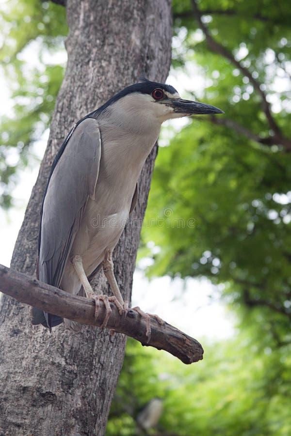 Czerń koronowany czapli ptak zdjęcie stock