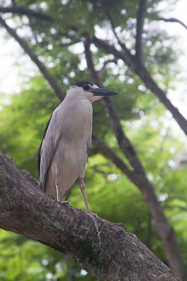 Czerń koronowany czapli ptak fotografia stock