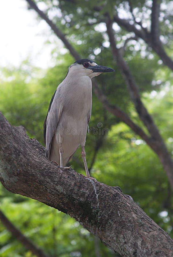 Czerń koronowany czapli ptak zdjęcia royalty free