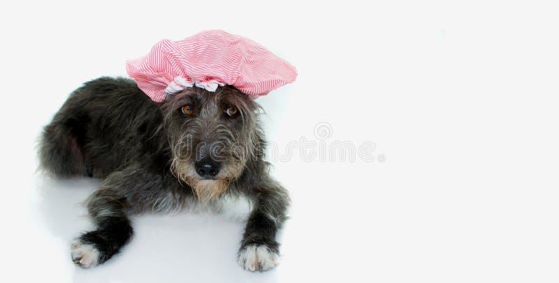 CZERŃ MIESZAJĄCY trakenu pies PRZYGOTOWYWAJĄCY MIEĆ skąpanie JEST UBRANYM KĄPAĆ SIĘ CA zdjęcia stock