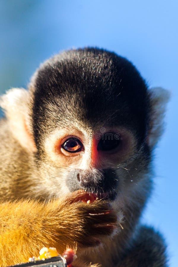 czerń nakrywająca małpy wiewiórka fotografia royalty free