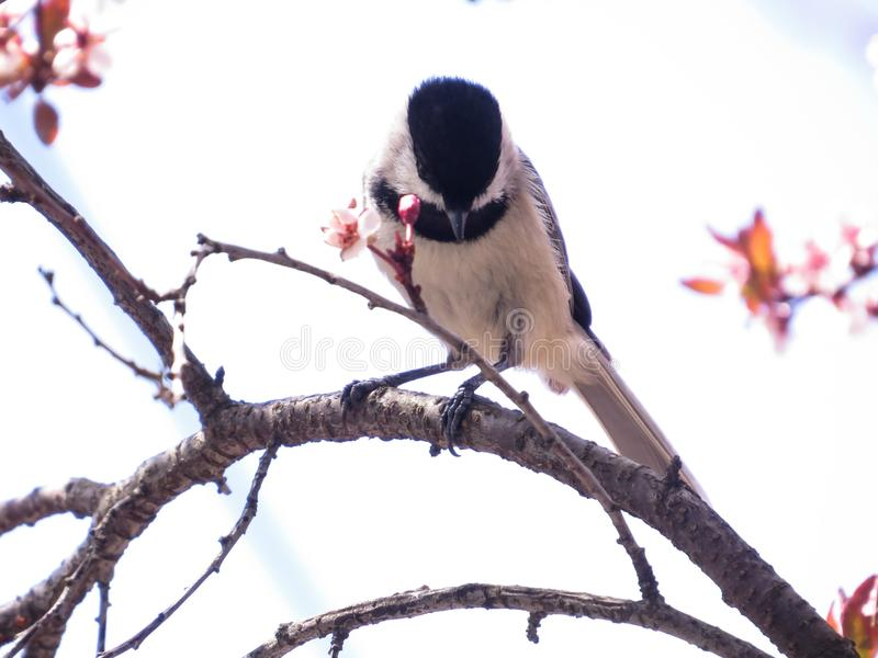 Czerń Nakrywający Chickadee ptak Umieszczający Na gałąź Z wiosna kwiatami zdjęcia stock