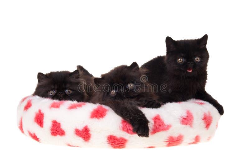 czerń odosobniony figlarek persa valentine zdjęcia stock