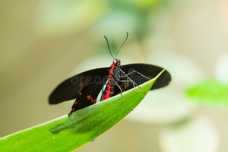 Czerń oskrzydlony motyl zdjęcie stock