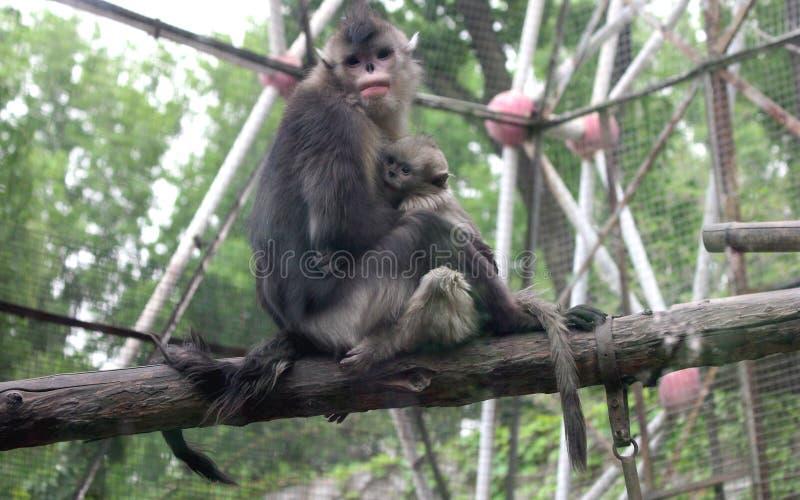 Czerń Ostrożnie wprowadzać małpa lub Yunnan Ostrożnie wprowadzać małpa obraz stock