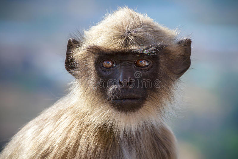 Czerń stawiająca czoło małpa zdjęcia stock