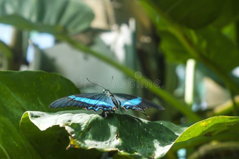 Czerń z szmaragdem paskuje motyliego Papilio palinurus zdjęcie stock