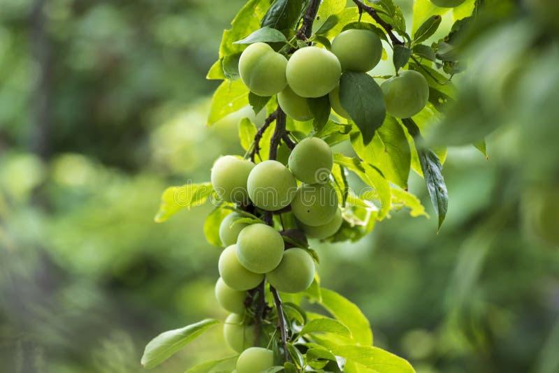 Czereśniowa śliwka na gałąź w ogródzie Zielony czereśniowej śliwki zbliżenie Owoc ogród z udziałami ampuła, soczyste śliwki w świ obrazy royalty free