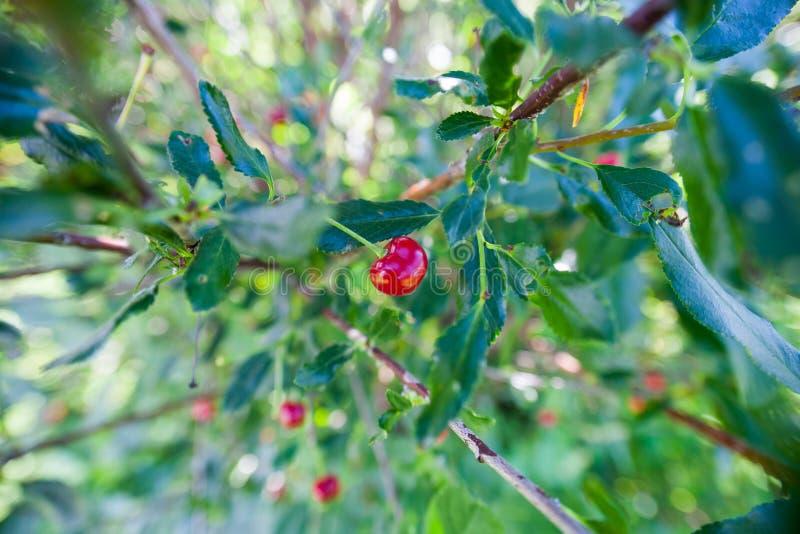 Czereśniowa jagoda na gałąź zdjęcie stock
