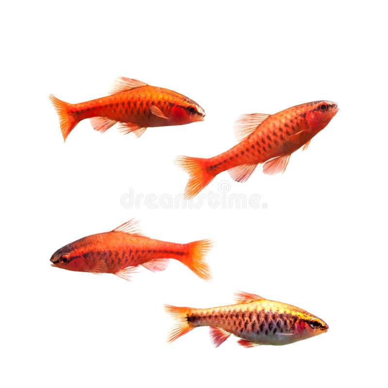 Czereśniowe barbet samiec ryba odizolowywać na bielu Tropikalny słodkowodny akwarium Puntius titteya należy rodzina obrazy royalty free