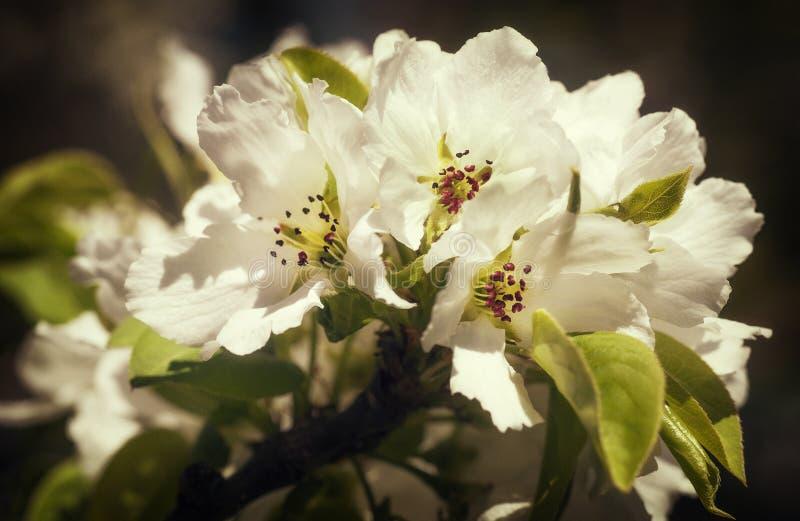 czereśniowego białe kwiaty zdjęcie royalty free