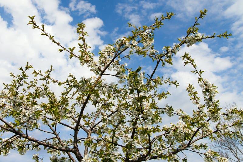 czereśniowego białe kwiaty obrazy stock
