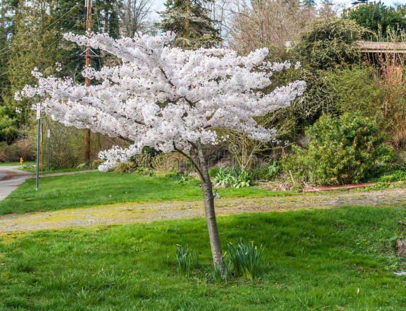 czereśniowego białe kwiaty obrazy royalty free