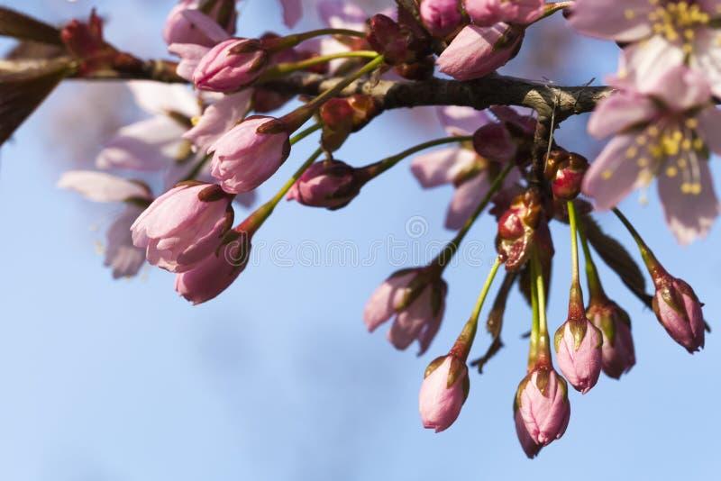 Czereśniowego drzewa kwiatu pączki obrazy royalty free