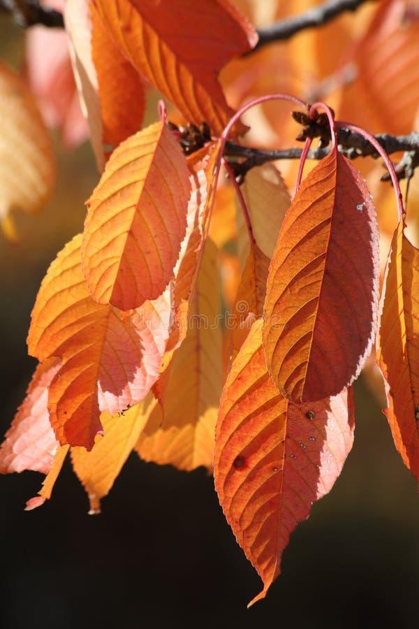 Czereśniowego drzewa liście w spadku fotografia stock