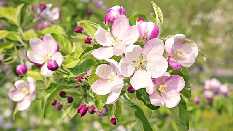 Czereśniowego drzewa okwitnięcia kwiaty zdjęcie stock