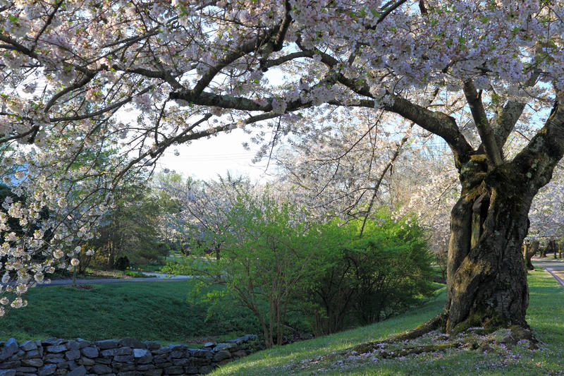 Czereśniowego drzewa okwitnięcie obraz stock