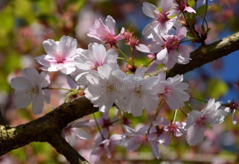 Czereśniowego drzewa okwitnięcie, duże menchie kwitnie na drzewie fotografia royalty free