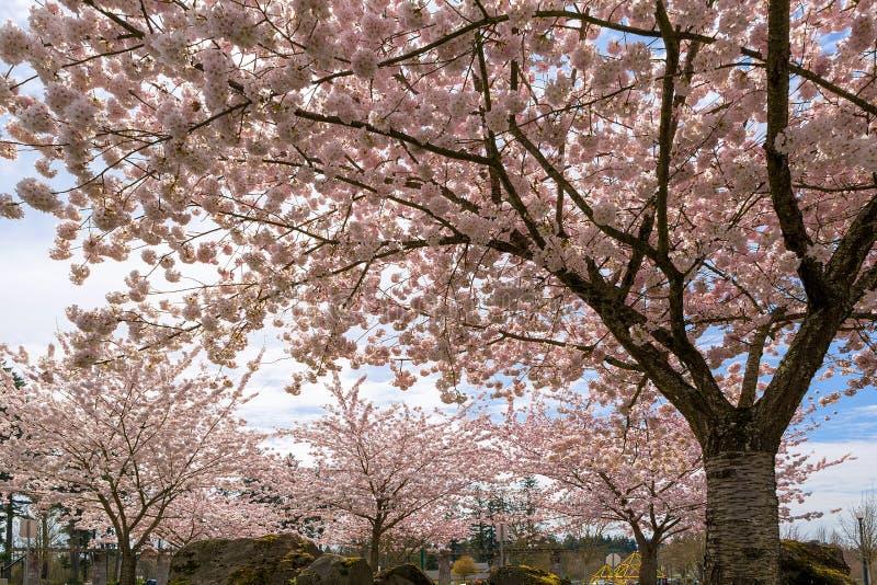 Czereśniowego okwitnięcia drzewa w parku w wiośnie obrazy royalty free
