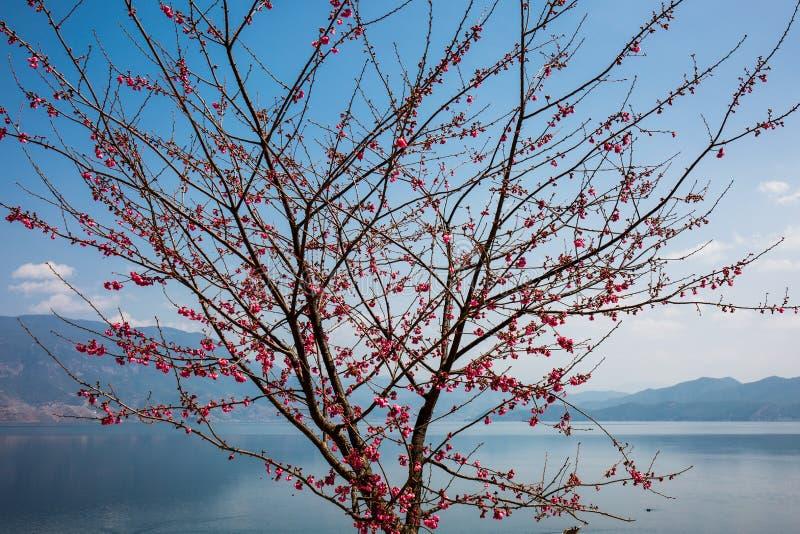 Czereśniowego okwitnięcia drzewo jeziorem obraz royalty free