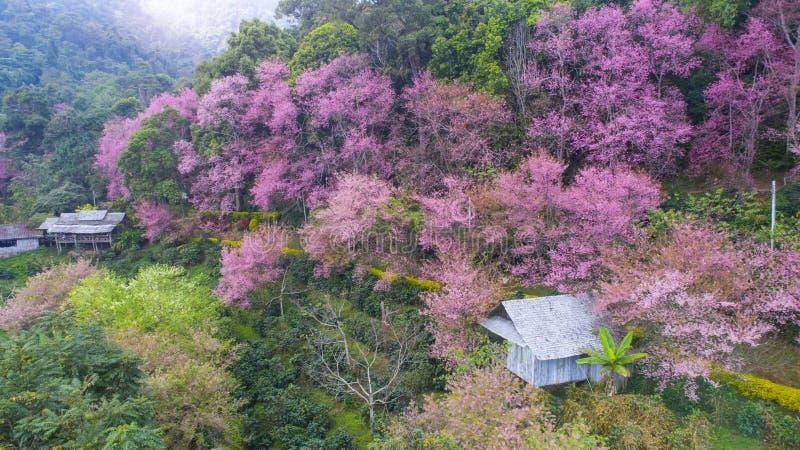 Czereśniowego okwitnięcia kwitnienie zdjęcia stock
