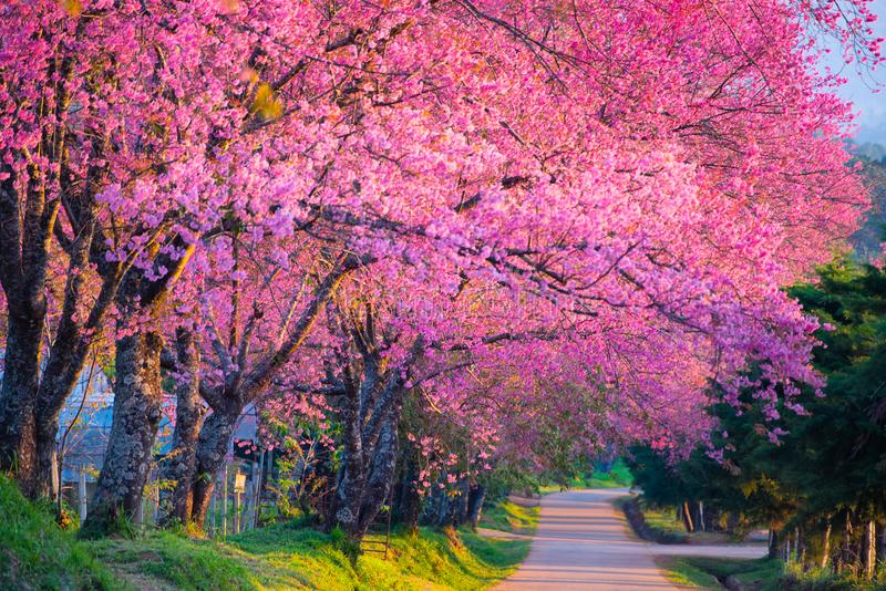 Czereśniowego okwitnięcia kwitnienie zdjęcie stock