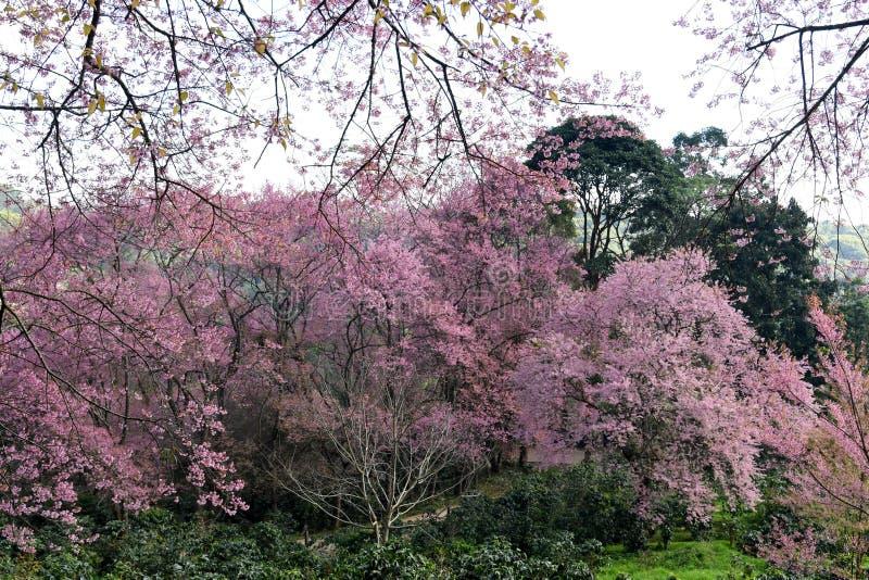 Czereśniowego okwitnięcia lub Sakura kwiatu ogród przy Doi Suthep Chiangmai, Tajlandia obraz royalty free
