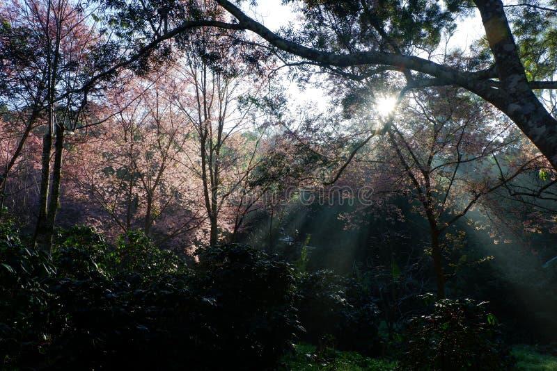Czereśniowego okwitnięcia lub Sakura kwiatu ogród przy Doi Suthep Chiangmai, Tajlandia obrazy royalty free