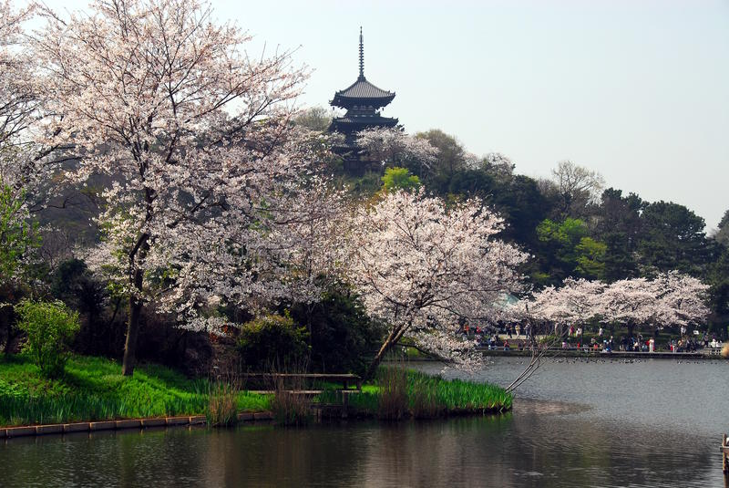Czereśniowego okwitnięcia pagoda obraz royalty free