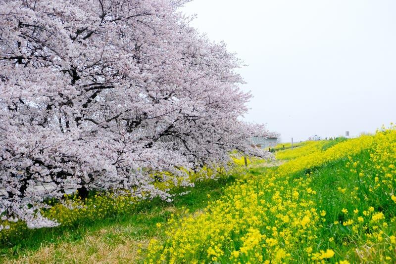 Czereśniowego okwitnięcia tunel i pola żółty kwiatonośny nanohana przy Kumagaya Arakawa Ryokuchi parkiem w Kumagaya, Saitama, Jap zdjęcia royalty free