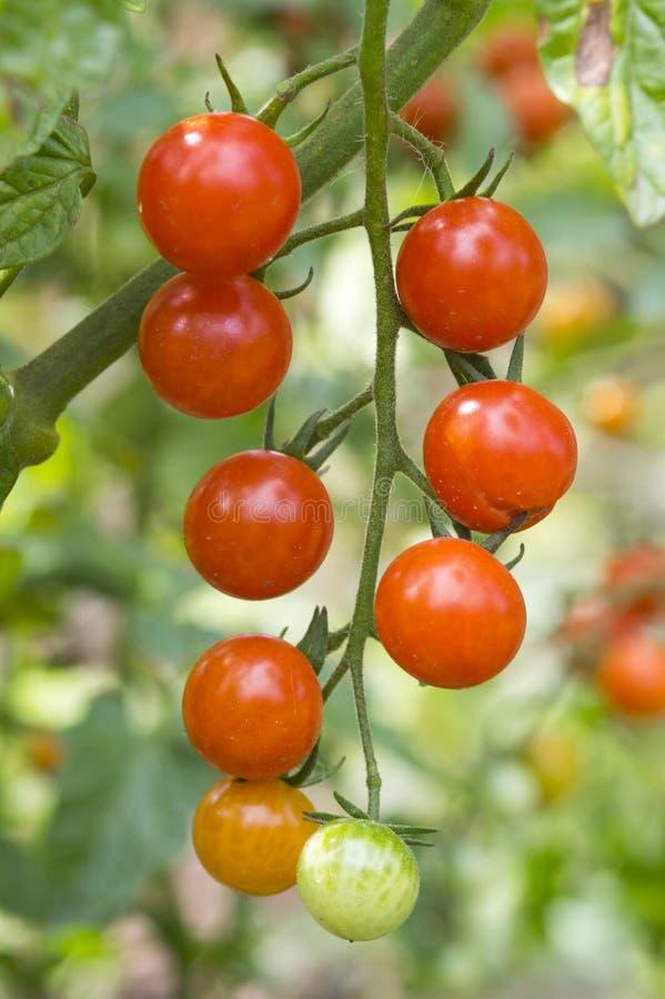 Czereśniowego pomidoru żniwo obraz royalty free