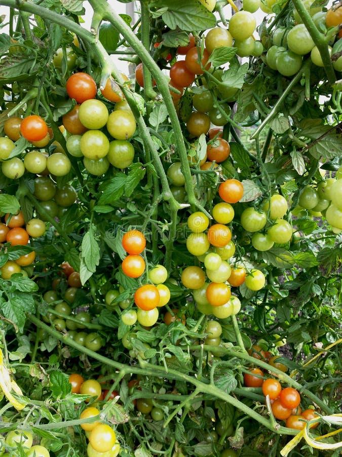 Czereśniowego pomidoru pomidory na i drzewnej czerwieni dojrzałych, niedojrzałych i zieleni zdjęcie royalty free