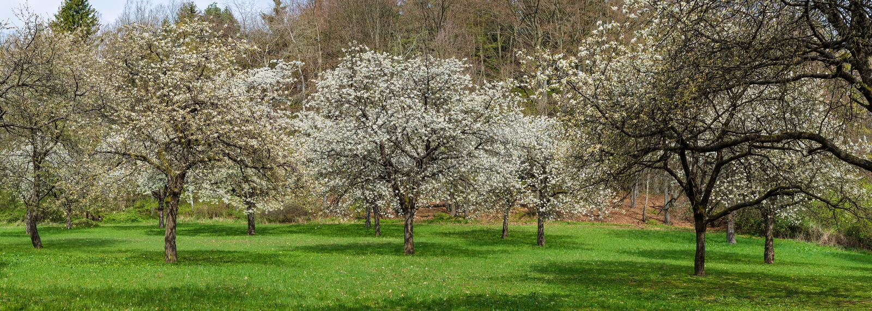 Czereśniowego sadu parka Sakura drzewa w kwiat wiosny krajobrazie obrazy royalty free