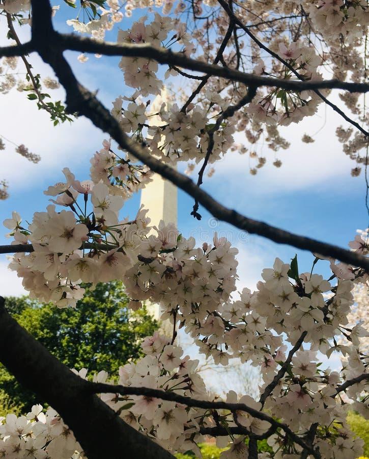 czereśniowego Washington pomnikowego kwiaty fotografia royalty free