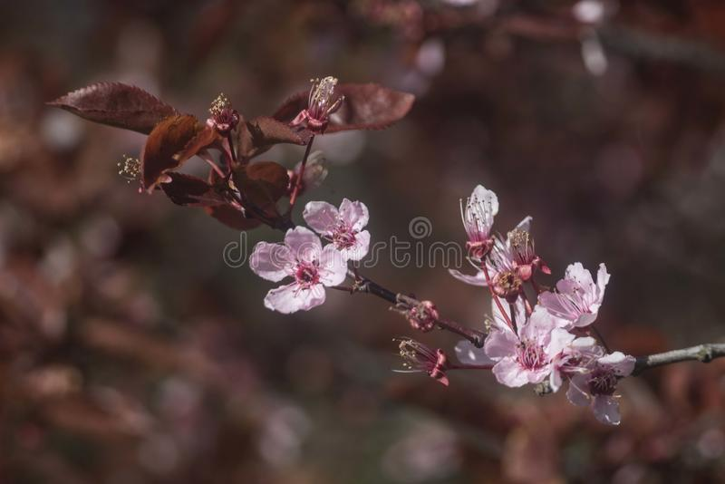 Czereśniowej śliwki kwiaty zdjęcie stock