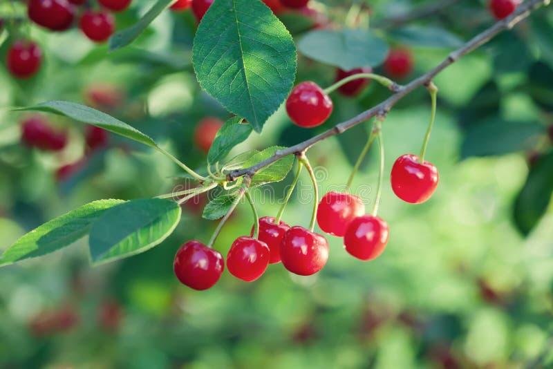 Czereśniowej gałąź makro- widok Czerwona jagodowa owocowej rośliny zieleń opuszcza, lato czasu ogródu tło Seleactive ostrość obrazy royalty free