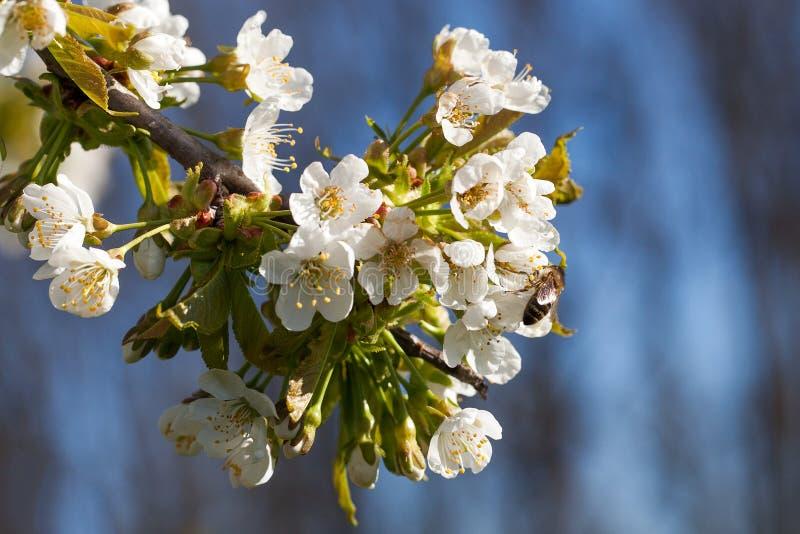 Czereśniowi kwiaty obraz royalty free