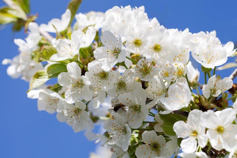 Czereśniowi kwiaty fotografia royalty free