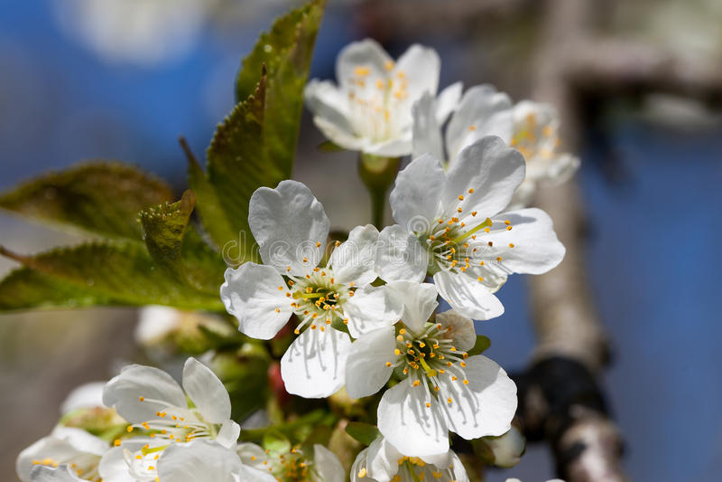 Czereśniowi kwiaty zdjęcie stock