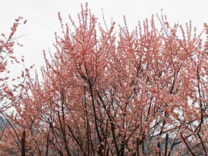 Czereśniowi okwitnięcia folują drzewa fotografia stock