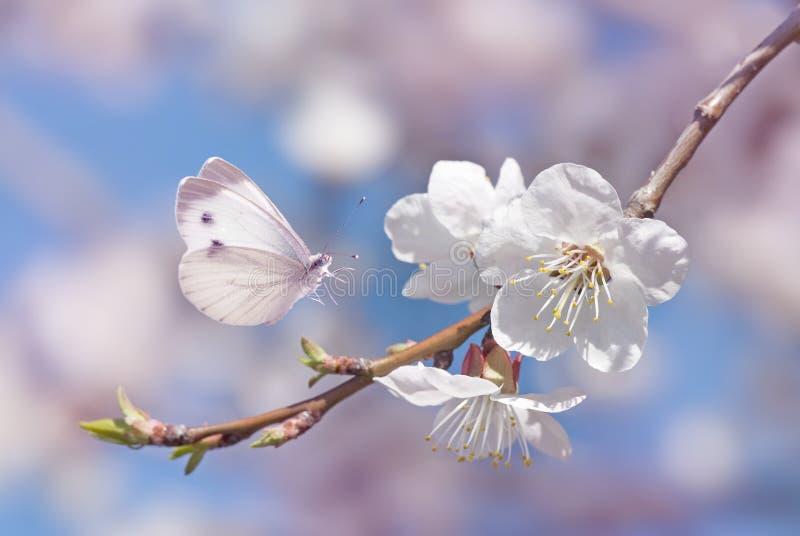 Czereśniowi okwitnięcia i biały motyl zdjęcia stock