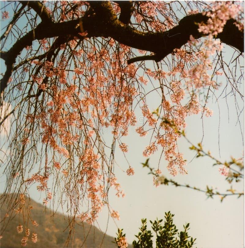 Czereśniowi okwitnięcia na wiosna czasie obraz stock