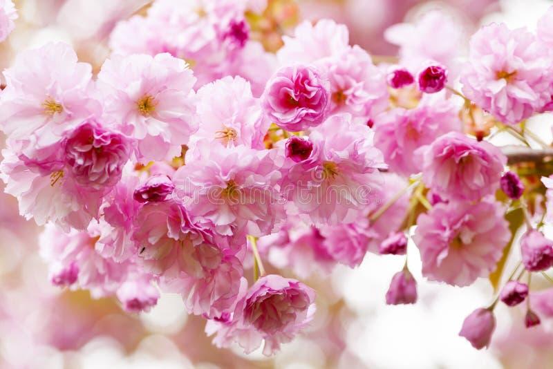 Czereśniowi okwitnięcia na wiosny czereśniowym drzewie zdjęcie royalty free