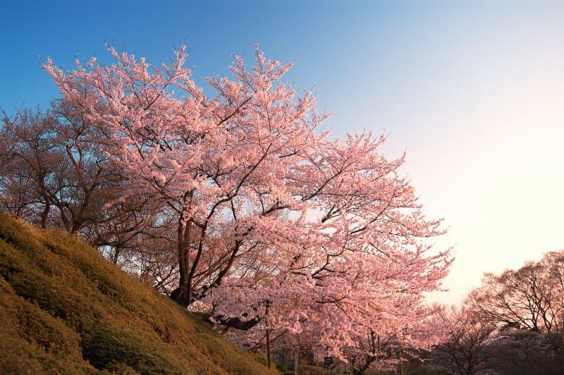 Czereśniowi okwitnięcia przy Kiyomizu-dera, Kyoto, Japonia zdjęcia stock