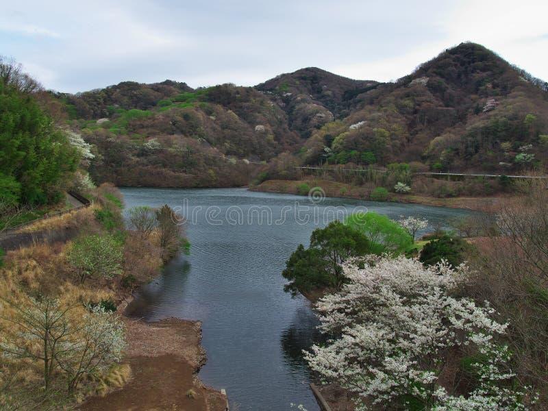 Czereśniowi okwitnięcia przy Matukawa jeziorem zdjęcie royalty free