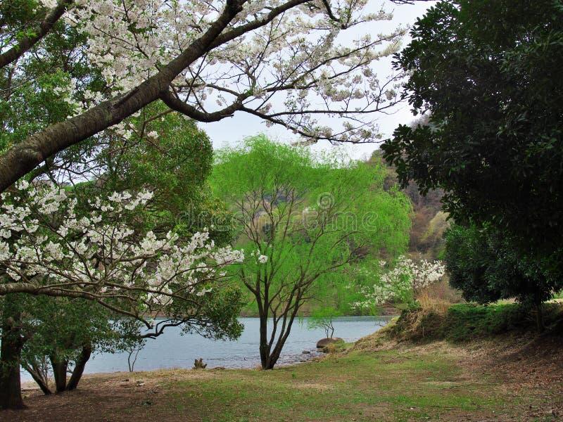 Czereśniowi okwitnięcia przy Matukawa jeziorem obraz royalty free