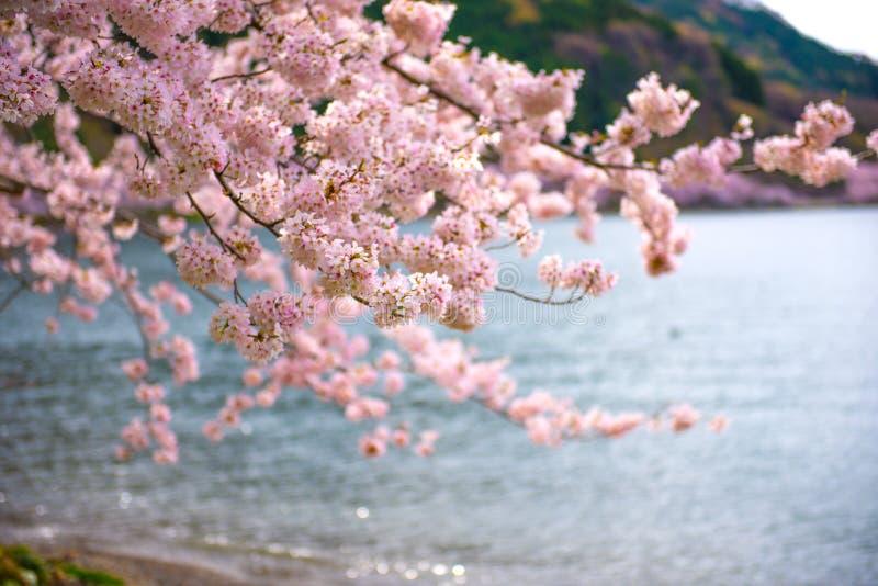 Czereśniowi okwitnięcia w Shiga, Japonia zdjęcia royalty free