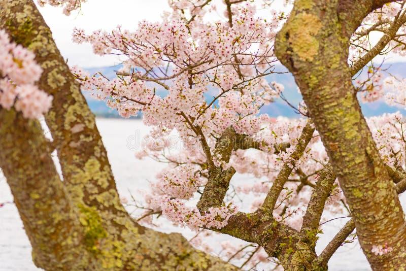 Czereśniowi okwitnięcia w Shiga, Japonia obraz royalty free