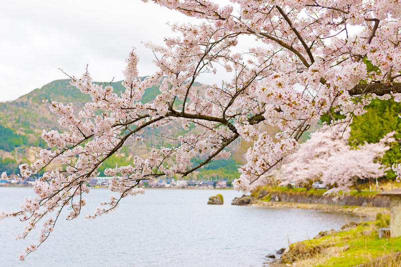 Czereśniowi okwitnięcia w Shiga, Japonia zdjęcie stock